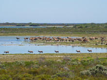 Group Of Bontebok And Common Eland Antelopes At De Hoop Nature Reserve, South Africa