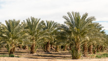 Date Palm Tree Orchard  With C...