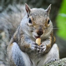 Portrait Of Squirrel Eating Peanut