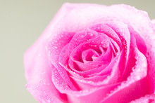 A Pink Rose Covered With Drops Of Water.
