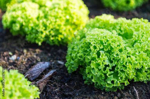 Obraz Green lettuce from organic farm, outdoor day light, healthy food, fresh green vegetable - fototapety do salonu
