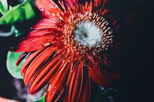 Deep Red Gerbera Flower