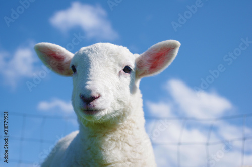 Close-Up Portrait Of Lamb Against Sky - fototapety na wymiar