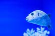 canvas print picture - Beautiful sea fish with big lips swims in blue aquarium.