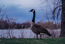 Canada Goose Standing On Grassy Lakeshore During Sunset
