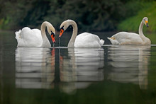 Two Species Of Swans Mute Swa...