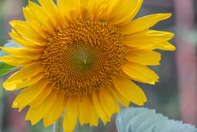 Close Up Sunflowers In The Gar...