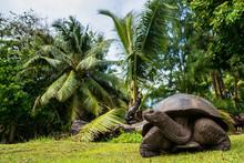 Aldabra Giant Tortoise, Curieuse Marine National Park, Curieuse, Seychelles