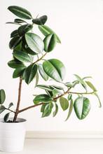 Ficus Elastica (Rubber Plant) In Pot
