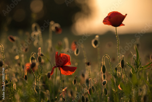 corn-poppy-papaver-rhoeas-is-a-deciduous-annual-to-biennial-herbaceous-plant-the-flowering-period-extends-from-may-to-july-concept-flowers-and-plants