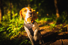 Beagle Dog In Forest With Autu...