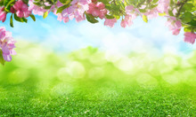 Spring Flowers Background, Pink Apple Blossoms Trees