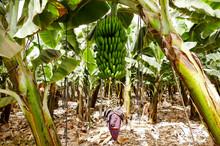 Banana Plantation Tenerife, Ca...