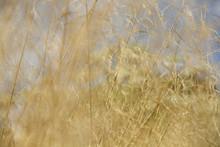 Waving Grass In Field Summer