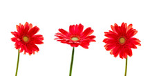 Three Red Daisies (gerbera) Fl...