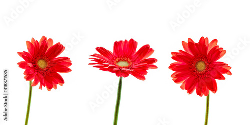 Obraz na plátně Three red daisies (gerbera) flowers isolated on white background