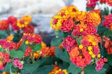 Verbena Flower. Orange And Yel...