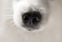 Dog Nose Extreme Close-up. Macro Shot Of Cute Fluffy White Japanese Spitz Dog. Selective Focus On Nose Texture.
