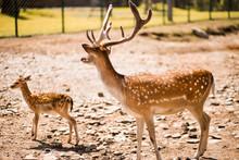 Cute Spotted Fallow Deer Is Ru...