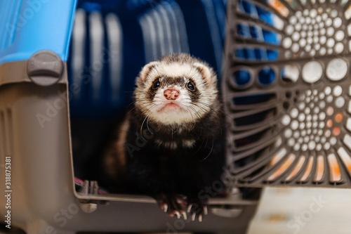 Veterinarian examines a ferret in a clinic Fototapet
