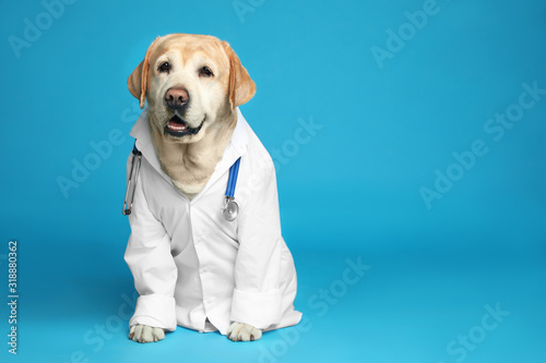 Obraz na plátně Cute Labrador dog in uniform with stethoscope as veterinarian on light blue background