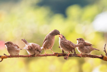 Bird Feeds Its Little Funny Yellow Mouthed Sparrow Chick Sitting On A Branch In A Summer Sunny Garden