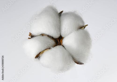 Single cotton flower isolated on white Wallpaper Mural
