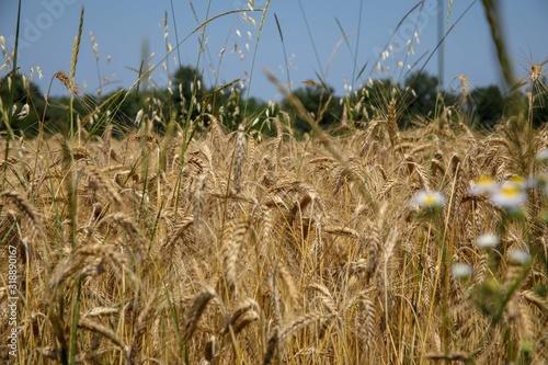 Fototapeta campo di grano