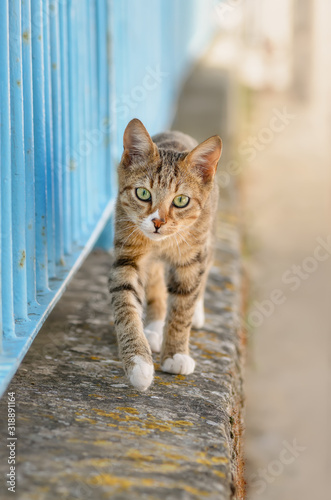 Fototapeta Cute young tabby cat walking on a garden wall with a blue iron fence and looking curiously, Greece, Europe obraz