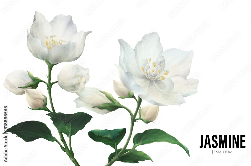 Jasmine flowers in colourful illustration isolated on white background. Suits with essential oil, fragrance, houseplant and garden contents.