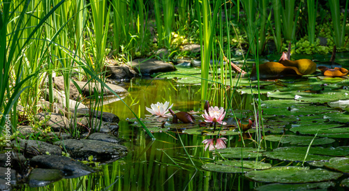 Photo Magic of nature with pink water lilies or lotus flowers Marliacea Rosea
