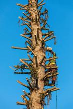 Lumberjack Cutting Spruce Tree