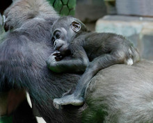 The Baby Gorilla.  The Gorilla Is The Largest Member Of The Monkey Family. They Eat Mostly Leaves, Young Shoots, And Sometimes Fruit. Gorillas Are An Endangered Species.