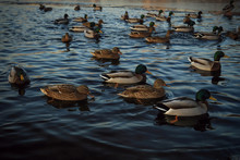 Ducks In A City Park Looking F...
