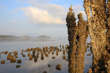 Old Pier Pilings Covered In Shells And Barnacles.  Low Tide.