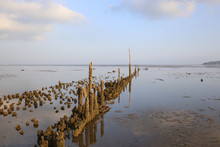 Old Pier Pilings Covered In Shell And Barnacles At Low Tide
