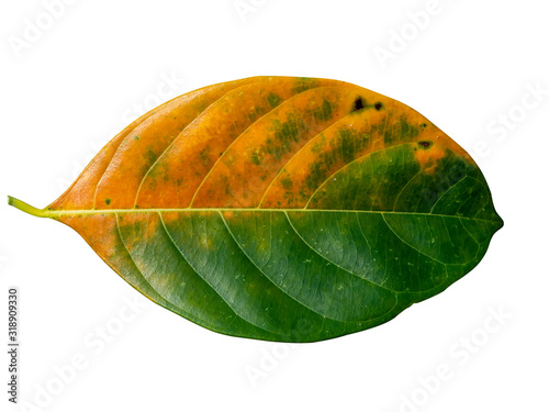 Photo Close up Jackfruit leaves change color on white background