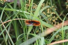 Red Caterpillar With White Streak