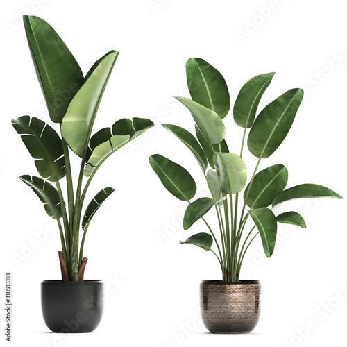 Obraz tropical plants Strelitzia in a pot - fototapety do salonu