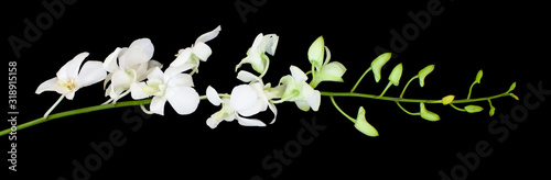 Dendrobium noble (Emma white) orchid flower. White tropical exotic plant front view isolated on black background