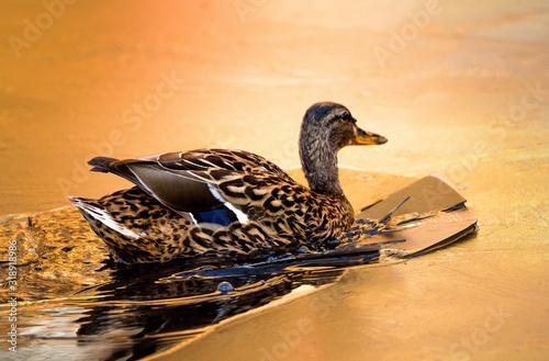 Photo Mallard Duck In Water