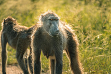 Impressive Baboon With Beautif...