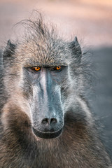 Close up face of a baboon in Kruger National Park, South Africa