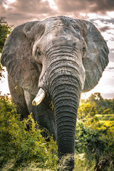 Huge elephant bull faces camera up close in Kruger National Park South Africa