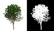 Tree on transparent picture background with clipping path, single tree with clipping path and alpha channel on black background