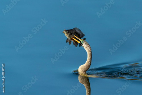 Adult Female Anhinga with fish speared on it's beak Canvas Print