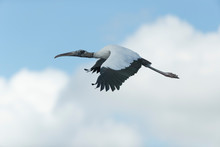 Adult Wood Stork Flying To It'...