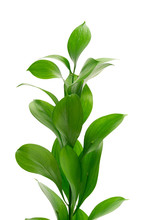 Exotic Plant Leaves Isolated On White Background