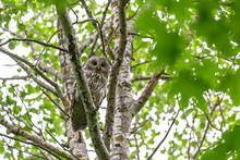 Ural Owl (Strix Uralensis)...