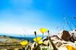 Weißer Alpenmohn auf dem Gipfel des Mont Ventoux